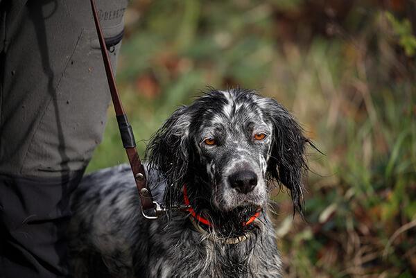 cane da caccia alla beccaccia fucili sovrapposti